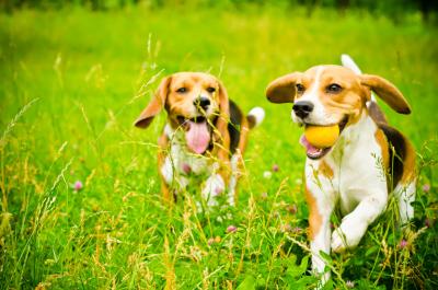 wesołe psy biegnące po zielonej trawie